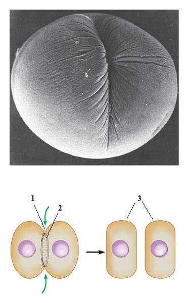 Cleavage of an animal cell