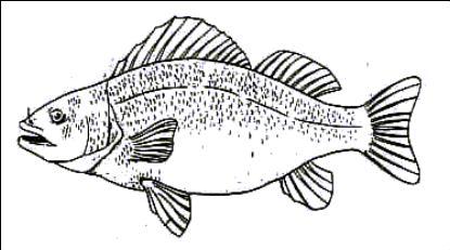 internal fish anatomy diagram fish parts diagram wiring