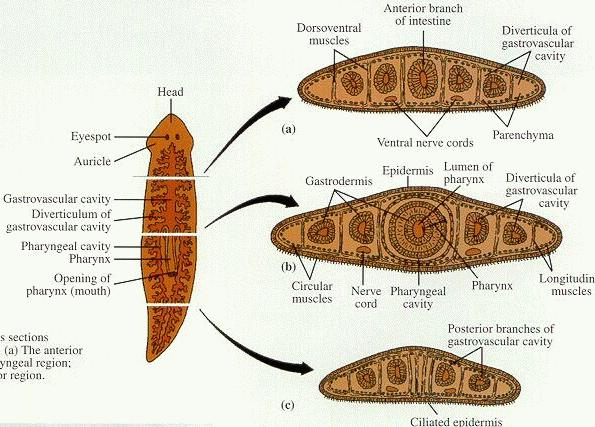 Phyla Cnidaria Platyhelminthes And Nematoda