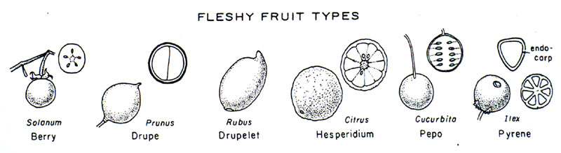 frutflsh dry fruits examples of fleshy and dry fruits