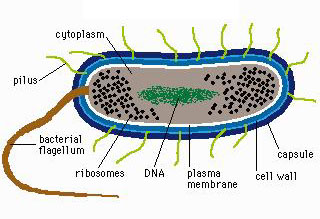 Bacterial cell diagram labeled wiring library bacteria rh dvbiology org bacteria cell diagram bacterial cell diagram not labeled ccuart Image collections