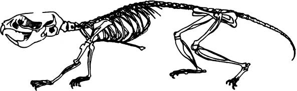 Mouse Skeleton Drawing Include Common Name And